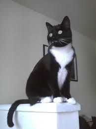 tuxedo cat - Google Search