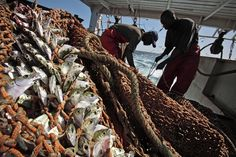 Pictire of Senegalese fishermen haul in nets loaded with fish