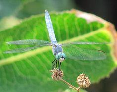 Green dragonfly. Photo by Rachel Jensen