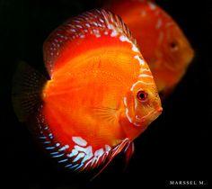 Discus Red Marlboro Discus Tank, Discus Fish, Fish Tank, Tropical Fish Aquarium, Freshwater Aquarium Fish, Koi Fish Pond, Fish Ponds, Aquascaping, Acara Disco