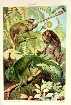 1904 antique original engraving print of chamelon, vintage fine lithograph of chameleons, reptiles plate illustration  This original old vintage