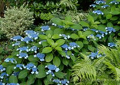 Hydrangea serrata varieties, native to the woodlands of Japan and Korea.( These are also sometimes listed as H. macrophylla subsp. serrata.) They stay smaller and are reputed to be more cold-hardy, although this is a matter of some debate among experts. My personal favorite in this group is 'Blue Billows,' shown below.