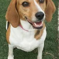 Orlando Florida Beagle Meet Bella Lara A For Adoption Https Www Adoptapet Com Pet 21929762 Orlando Florida Beagle Beagle Kitten Adoption Pets