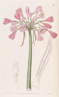 (1840) - Edwards's botanical register-London :James Ridgway,1829-1847