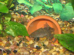 African Dwarf Frog care & feeding