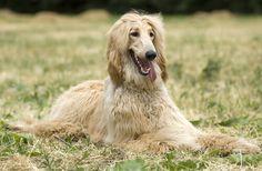 Las 5 razas de perros menos inteligentes - Mis animales