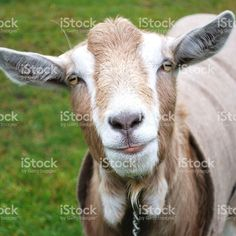 20 Reasons Why Keeping Goats Will Change Your Life For The Better Buy Contact Lenses Online, Keeping Goats, Agriculture Photos, No Kidding, Living Off The Land, Backyard Farming, Goat Milk Soap, Giving Back, My Animal