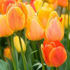 Plant now: Darwin Hybrid tulips