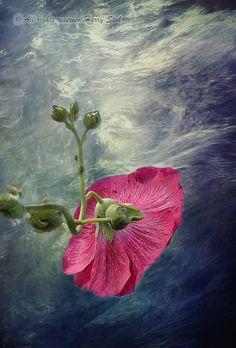 Wilde thee roos van onderen vastgelegd. Voorzien van een spannende background. Met een beetje verscherping, detaillering en doordrukken in Photoshop afgewerkt.