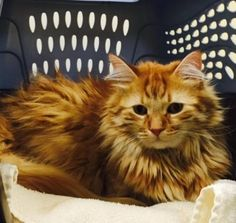 Mango is an adoptable Domestic Long Hair - orange searching for a forever family…