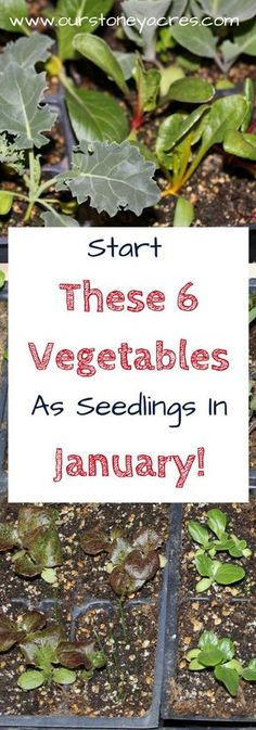 #3 What seedlings can you start in January. What seedlings can you start in January? This post is focused primary on those who live in Zones 5,6,7.