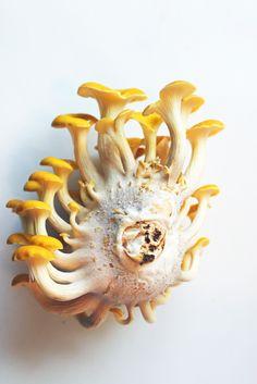 https://flic.kr/p/9nXAvP | Oyster mushroom side view