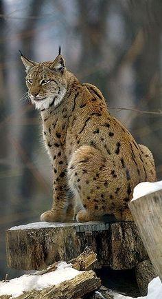 Eurasian Lynx , from Iryna