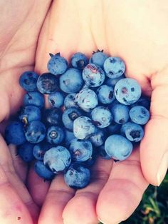 Fresh hand-picked  wild Newfoundland blueberries. A great source of nutrients. Nature's candy. #OrganicWeek.