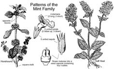 Lamiaceae Mint Family (also known as Labiatae)