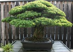 "Japanese White Pine  National Bonsai & Penjing Museum  Washington DC  This tree is the oldest at the museum and has been ""training"" since 1625!"