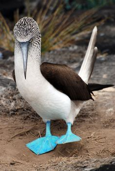 ~~pretending to be godzilla ~ Blue-footed Booby in the Galapagos by krugerlive~~ I always wanted to know what a blue footed booby looked like. Kinds Of Birds, All Birds, Love Birds, Beautiful Birds, Animals Beautiful, Unusual Animals, Booby Bird, Funny Animals, Cute Animals