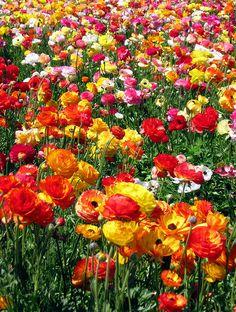 Ranunculus flower Fields of Carlsbad , California by moonjazz, via Flickr