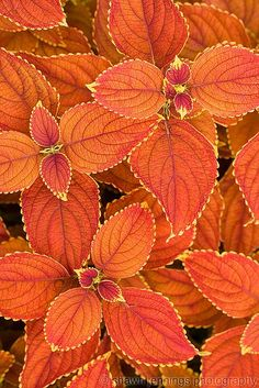 Coleus Need to find out what cultivar of coleus this is beautiful! ETA: I think it's Rustic Orange. The post Coleus appeared first on Easy flowers. Shade Garden, Garden Plants, Ivy Plants, Potted Plants, Roses Garden, Orange Flowers, Orange Color, Orange Shades, Black Flowers