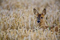 Roe Deer by Don Hooper on 500px