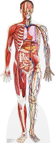 Human Body Diagram Labeled Organs Human Body System Pinterest