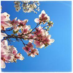 baum │ magnolie │ foto: nathalie nehues