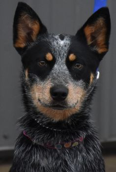 Meet Beauty, an adopted Australian Cattle Dog / Blue Heeler Dog, from Australian Cattle Dog Rescue of Illinois in Tinley Park, IL on Petfinder. Learn more about Beauty today. Aussie Cattle Dog, Cattle Dogs, Australian Cattle Dog, All Dogs, Best Dogs, Dogs And Puppies, Cute Dogs Breeds, Dog Breeds, Tinley Park