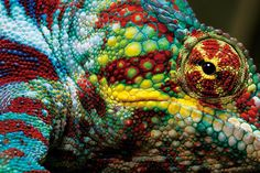 madagascar-chameleon-heinrich-van-den-berg