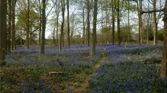 Springtime in the Chilterns: Greys Court, Henley-on-Thames, is awash with cheery bluebells. Henley On Thames, English Countryside, Spring Time, Places To Visit, Nice, Grey, Plants, Gray, Plant