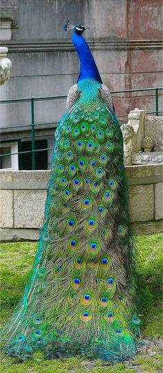 "I want to own property and keep peacocks.  Their ""crow"" is as frightening as their plumage is beautiful."