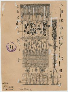 Santiago Ramon y Cajal dibujos artista neurona 7
