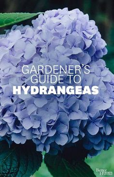 Learn how to care for and choose Hydrangeas. From bhg.com.