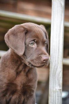 Chocolate lab puppy arkansaslabs.webs.com