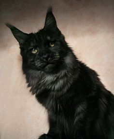 Maine Coon, black smoke (ds). Justcoon's Oh Suzanna. Would like our next Maine Coon to be this color type. They look spooky as hell.