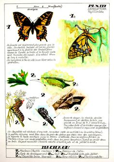 Chart Infographic, Insects, Flora, Cycle, Sketchbooks, Recherche Google, Communication, Butterfly, French
