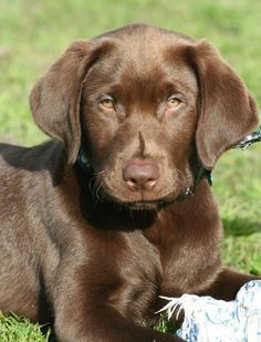 chocolate lab puppy More