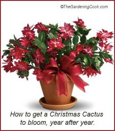 How to get a Christmas Cactus to bloom year after year. http://thegardeningcook.com/christmas-cactus/
