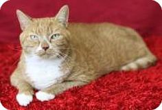 Blackwood, NJ - Domestic Shorthair. Meet Buster, a cat for adoption. http://www.adoptapet.com/pet/16932942-blackwood-new-jersey-cat