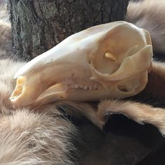 Sweet Wallaby Skull to add to your curio cabinet $90