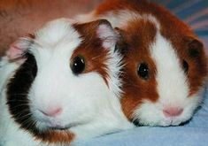 Lots of good Guinea Pig Toys and Play ideas