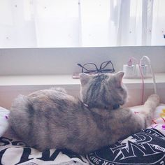 . 黄昏ねこ🌇🐱 . いつかの 朝。 いつもマクラ占領されてる👀💕 . #ねこ#猫#cat#にゃんすたぐらむ #スコティッシュフォールド  #ねこあつめ#ねこ好き#猫好きさんと繋がりたい #ねこ部#cute#ねこすたぐらむ#愛猫#癒し#可愛い#love #instacat#instapet#catstagram#petstagram  #mypet#ilovemycat#ilovemypet #japanesecat#japan#fukuoka#福岡 #scottishfold#followme#l4l#ペコねこ部