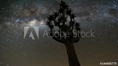 Stock Video of Linear, pan and tilt timelapse shot from a low angle shooting up towards a quiver tree at night with the Milky Way passing through until the shot blows out at sunrise available on request. at Adobe Stock Low Angle Shot, Quiver, Milky Way, Stock Video, Tilt, Stock Footage, Adobe, Sunrise
