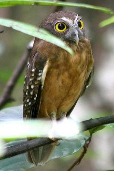 Ochre-bellied Boobook (Ninox ochracea)