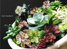 今日紹介するのはJieiさんの投稿です(ω) Jieiさんの他の投稿は #GreenSnap アプリかもぜひ観てみてくださいね #多肉植物 #多肉ちゃん #植物のある暮らし