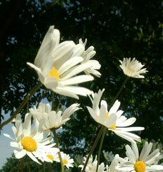 Large daisies swinging about in the wind