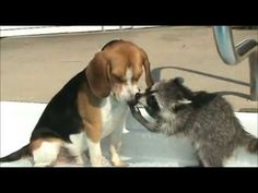 Racoon and Beagle Playing Together - Absolutely Cute