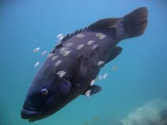 A blue groper is a member of two similar species of fish found in the coastal waters of southern Australia, distinguished by the bright blue colouring of the adult males.
