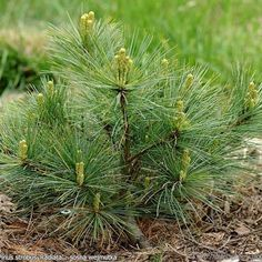 kerstboom zaaien, kerstboom kweken, pinus strobus Kweek je eigen kerstboom: aankoop, grond, standplaats, water, voeding, en meer! Grow your own christmas tree