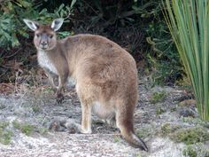 Australia - Kangaroo Island Kangaroo