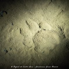 Spoor Tracking | A spoor is a set of footprints or tracks left behind by someone or something. Spoor can be in the form of tracks, scents, or broken foliage. 📸 @raqueldecastromaia